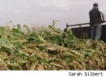 Corn Prices Soar to a Record High for the Year