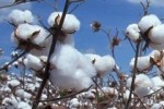 Shortage of Cotton in China Drives Prices to Near Record High